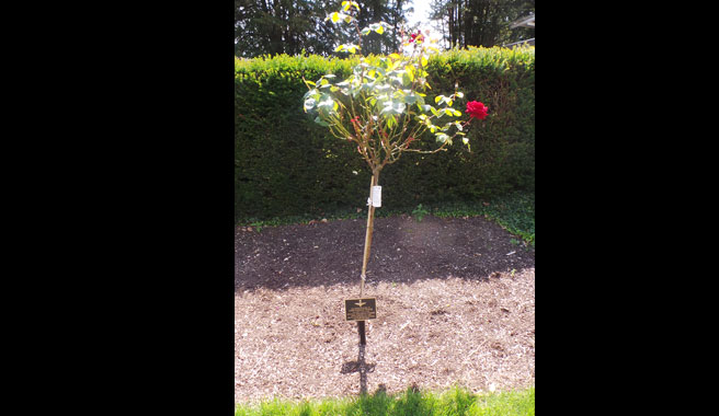 Rose of remembrance at Kingsdown cemetery